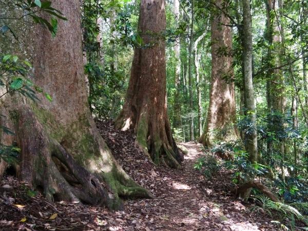 hardwood species grown in Queensland